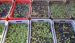 Dagli olivi castiglionesi 300 litri di pregiato olio extra vergine.