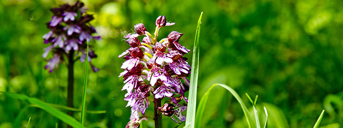 Il Giorno delle Orchidee a Castiglione Tinella.